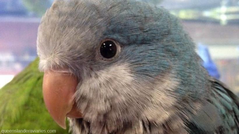 quaker Parrot -