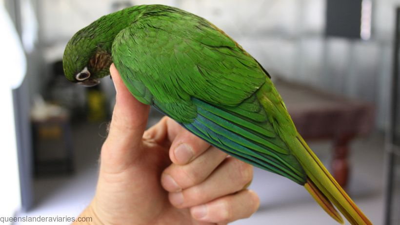 Profile of a young hand reared Maroon-bellied Conure