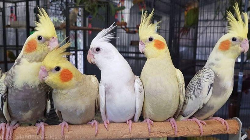 Cockatiel — Queenslander Aviaries