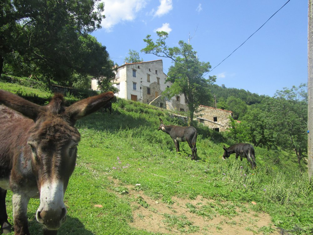 Donkeys with males at Can Robert, Leca