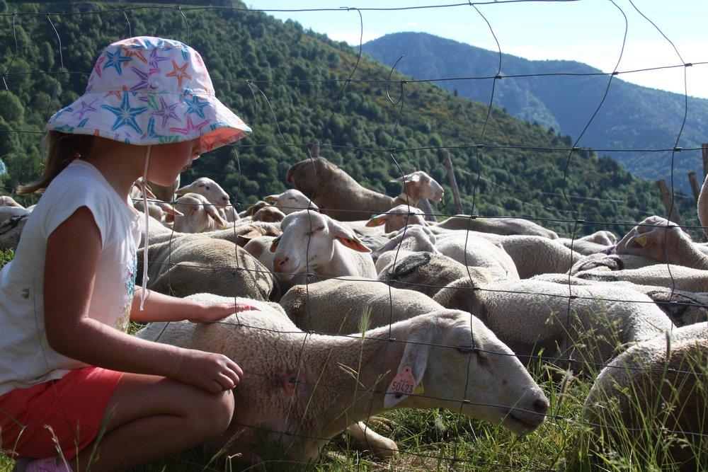 Olea_and_sheep.jpg