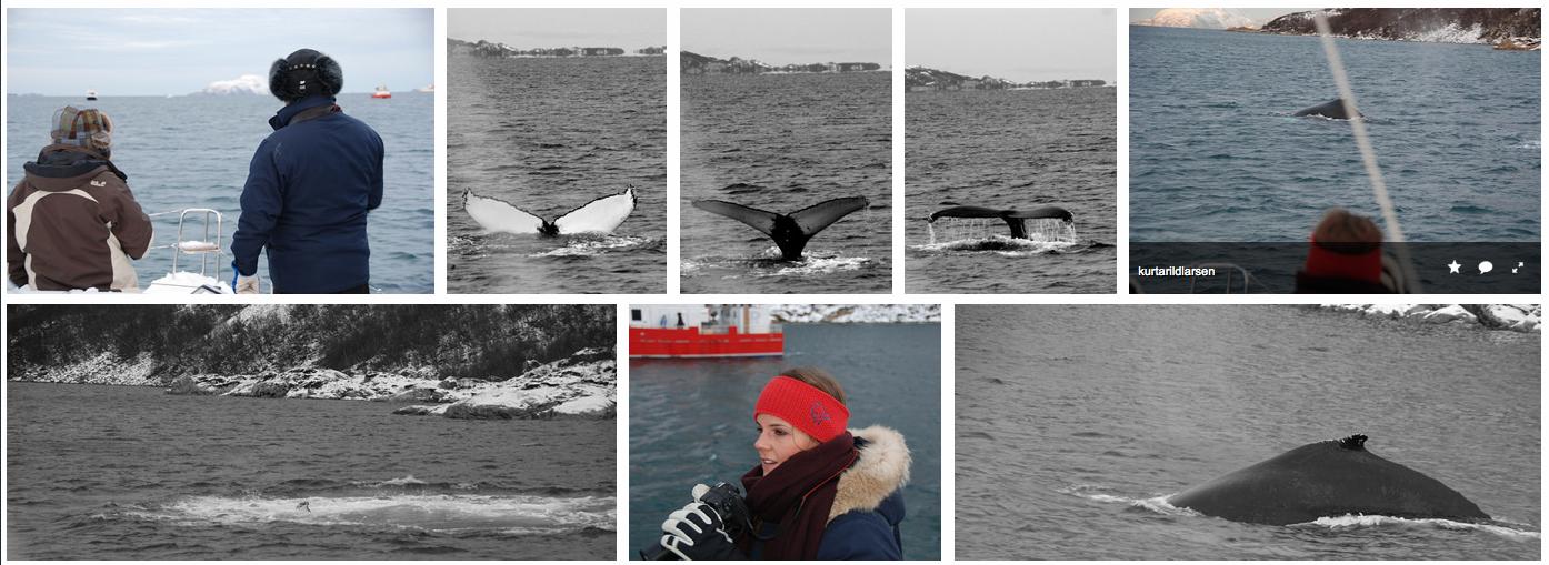 Whale safari Tromsø Arctic Princess