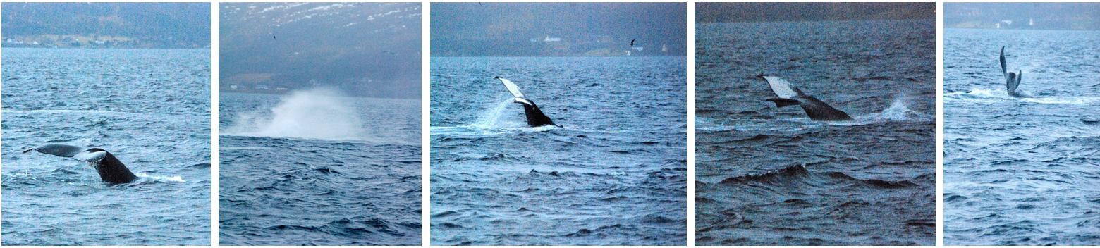 Whalesafari at Arctic Princess nov 21 2
