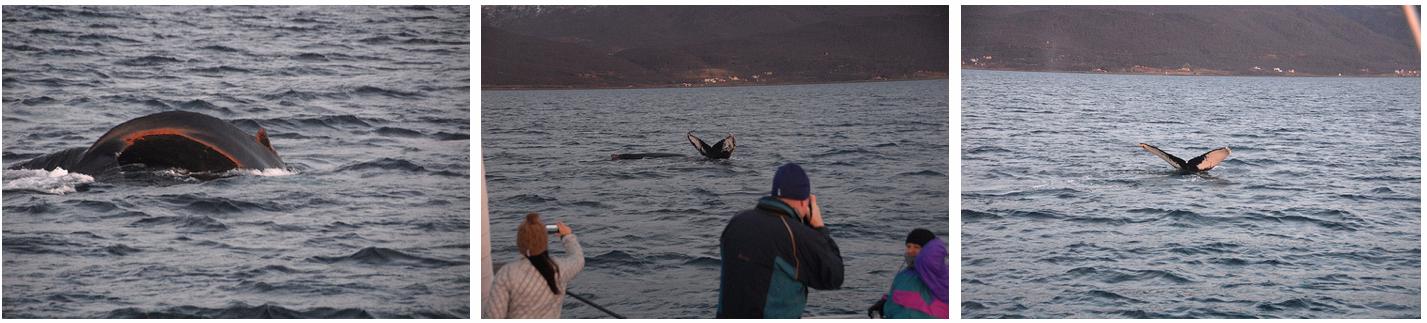 Whalesafari Whale watching at Arctic Princess