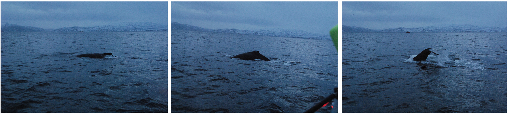First day 2015| Whalesafari Tromsø | Lot of Whales