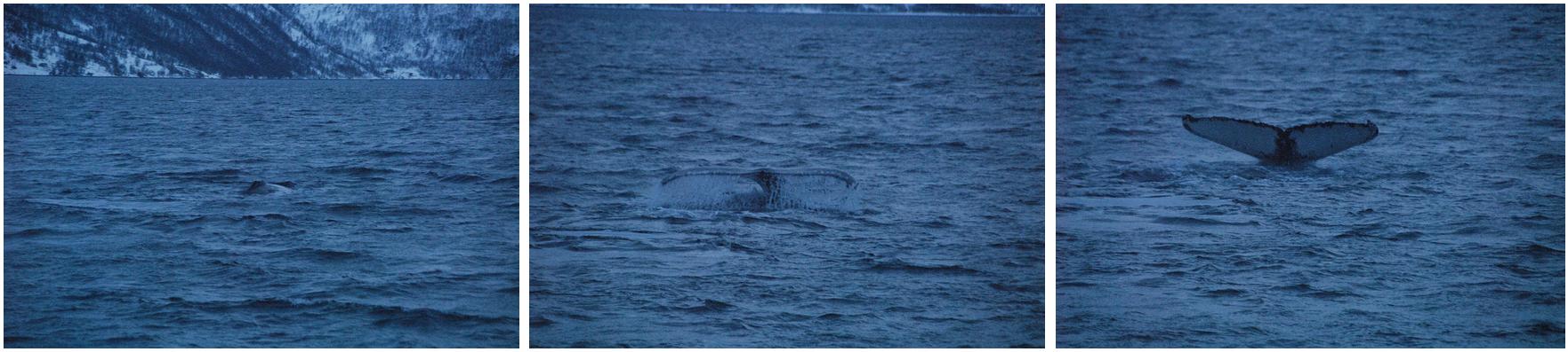 Whale watching | Whalesafari Tromsø