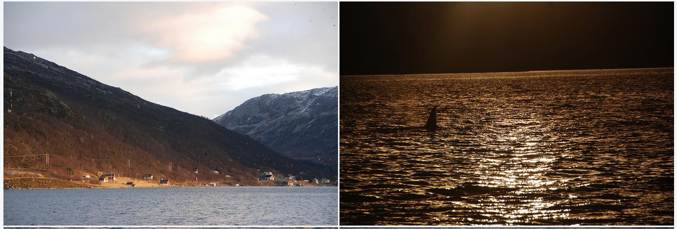 Whalesafari |Tromsø | Orcas