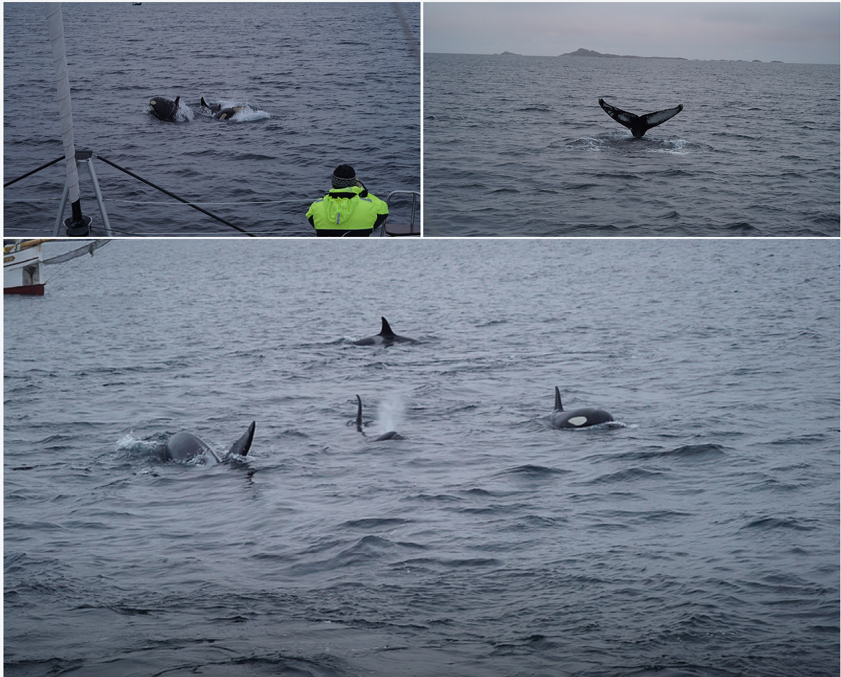 Whalesafari |Orcas |Humpoback | Tromso |Arctic Princess