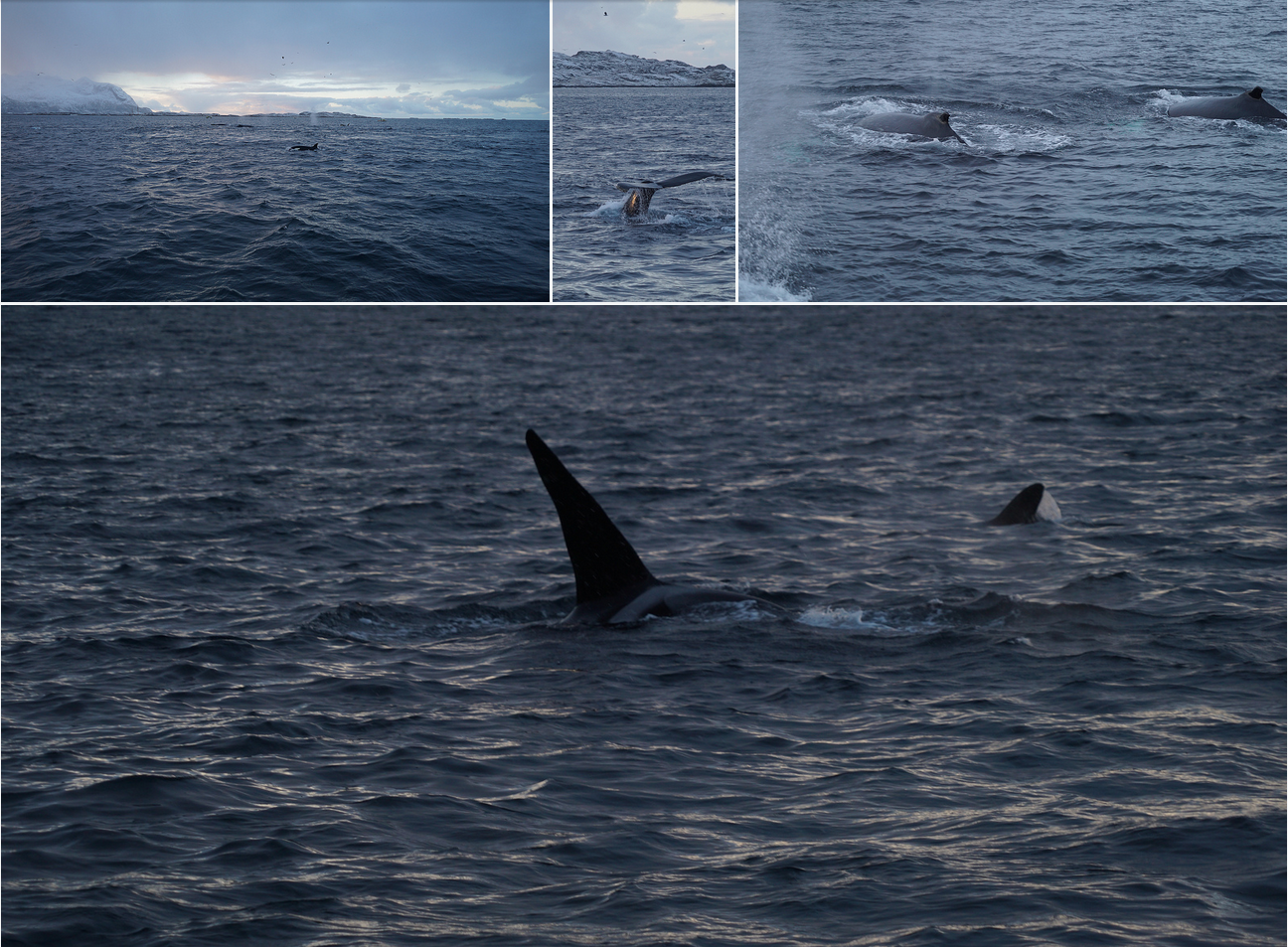 whalesafari |Whalewatching | Tromso | ARCTIC PRINCESS