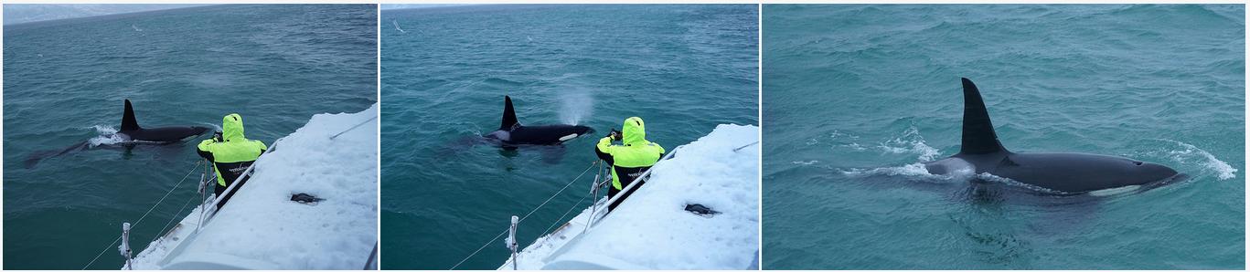 #Orca |#Killerwhale | #Safari |#Tromso