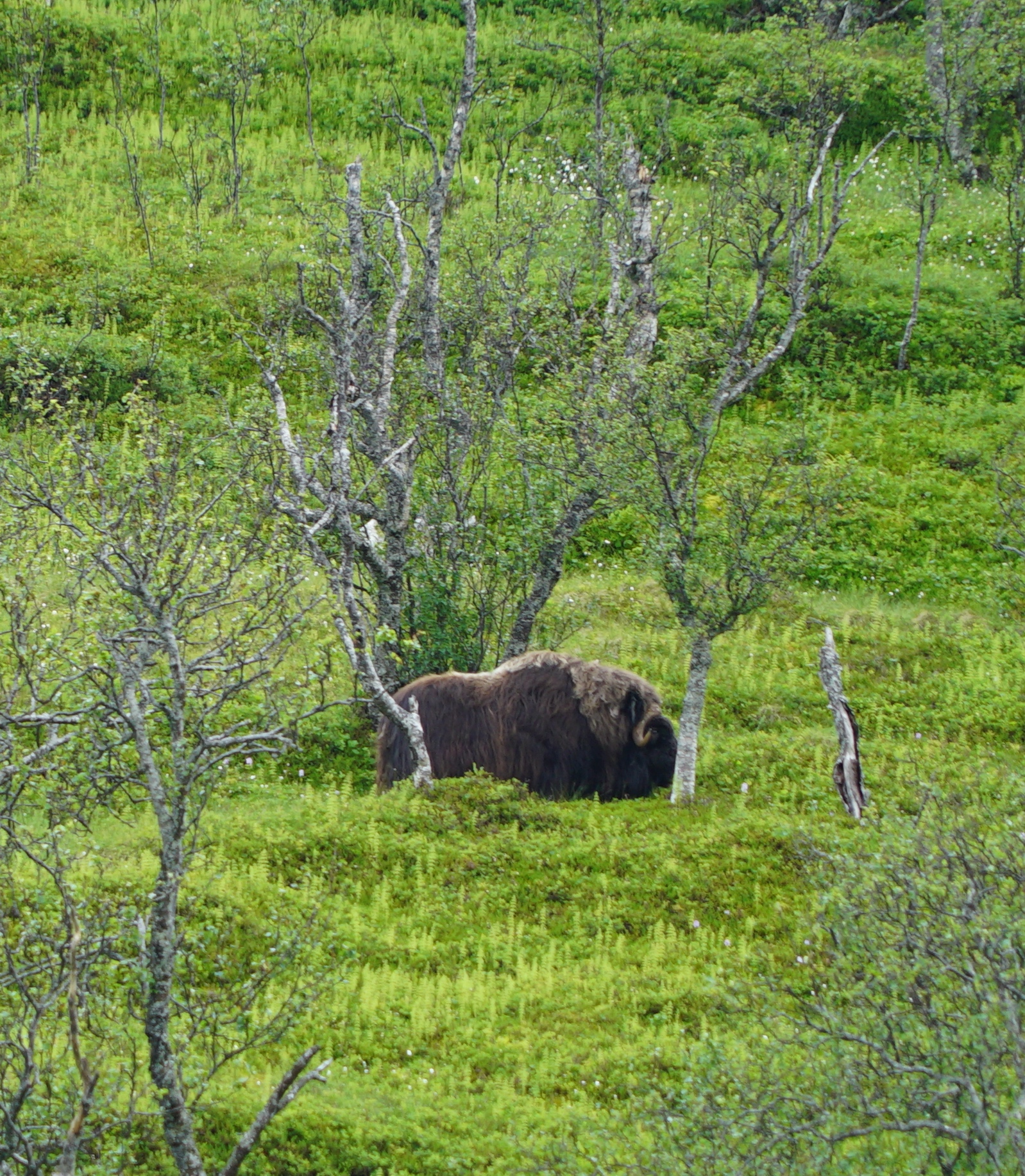 #Sightseeing | #Trosmø | #Musk ox