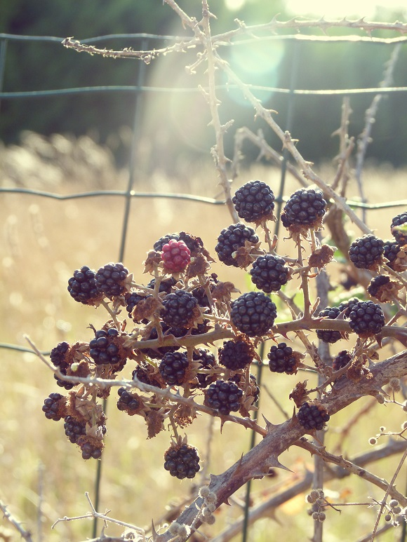 blackberry-sml1.jpg