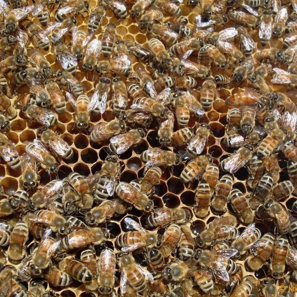 THE BEES - We keep bee hives in the middle of the estate, between Mark's Vineyard and StoneCross. The bees play a vital role in pollination throughout our estate: pollinating our gardens, fruit & nut trees and native landscape plants. The gentle buzz of their flight from flower to flower is music to our ears. We are very sensitive to plants that attract bees, as a result, we leave many weeds throughout the vineyards and estate just for them to enjoy.
