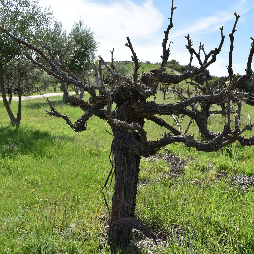 THE VINES - We have 4 vineyards within the 42 acre estate, (20 planted plus 22 acres of woodlands). All vineyards are dry-farmed, head-trained, thus reducing our dependency on irrigation and energy. They are steeply sloping, requiring much of the work to be accomplished on foot. We believe all of these factors influence the depth and unique character of the wines of AmByth Estate. Our vineyards: Mark's Vineyard, StoneCross, Terrace, & PlayGround. Our varietals: Mourvedre, Grenache, Syrah, Counoise, Tempranillo, Sangiovese, Roussanne, Marsanne, Viognier, & Grenache Blanc. About 1/3 of the vines are own root with the balance being 110R and 1103P.About 1/3 of the vines are rooted with the balance being 110R & 1103P.