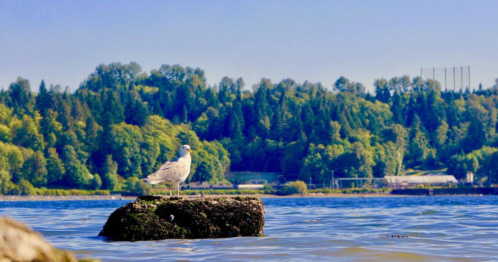 seagull on rock (1).jpg