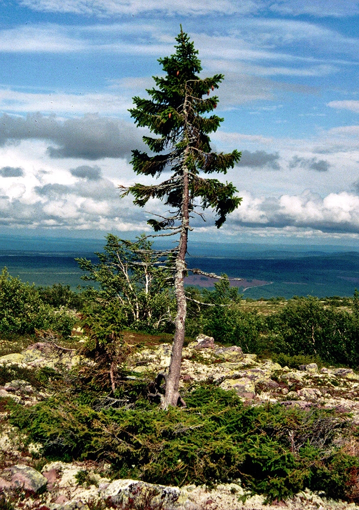 Old-Tjikko-tree.jpg