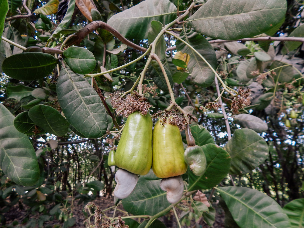 Raw cashew nut and apple on tree