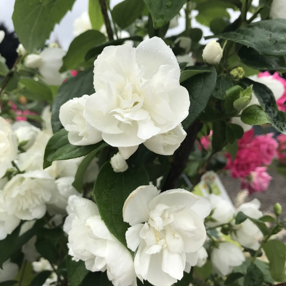 Snow White Fantasy Mock Orange