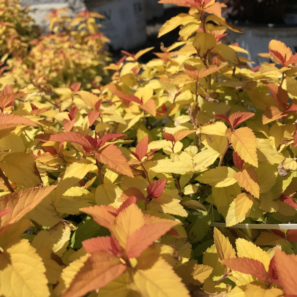Candy Corn Spirea