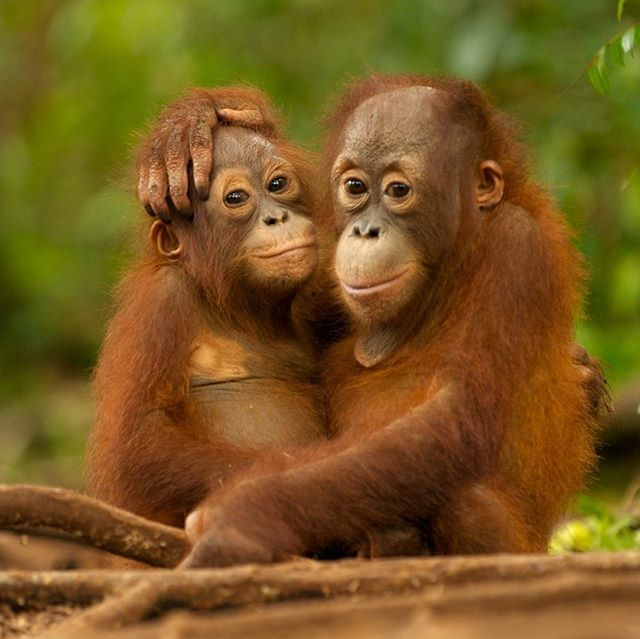 Orangutans are growing more and more endangered every day. Deforestation over the past few decades has devastated them with their population in Borneo dropping by over half in the last 60 years. On Sumatra, the number is only 1/5 of what is was 75 years ago. This is due to habitat loss from logging and wildfires, as well as poaching and being kept as illegal pets. Orangutans are crucial in seed dispersal and keeping the forest ecosystem healthy, which is important for people and many other animals such as tigers, rhinos and elephants. By learning how these guys matter and how we can help them, we help so many other species as well. Please, keep raising awareness and hold on to hope 🐒🧡 - helen