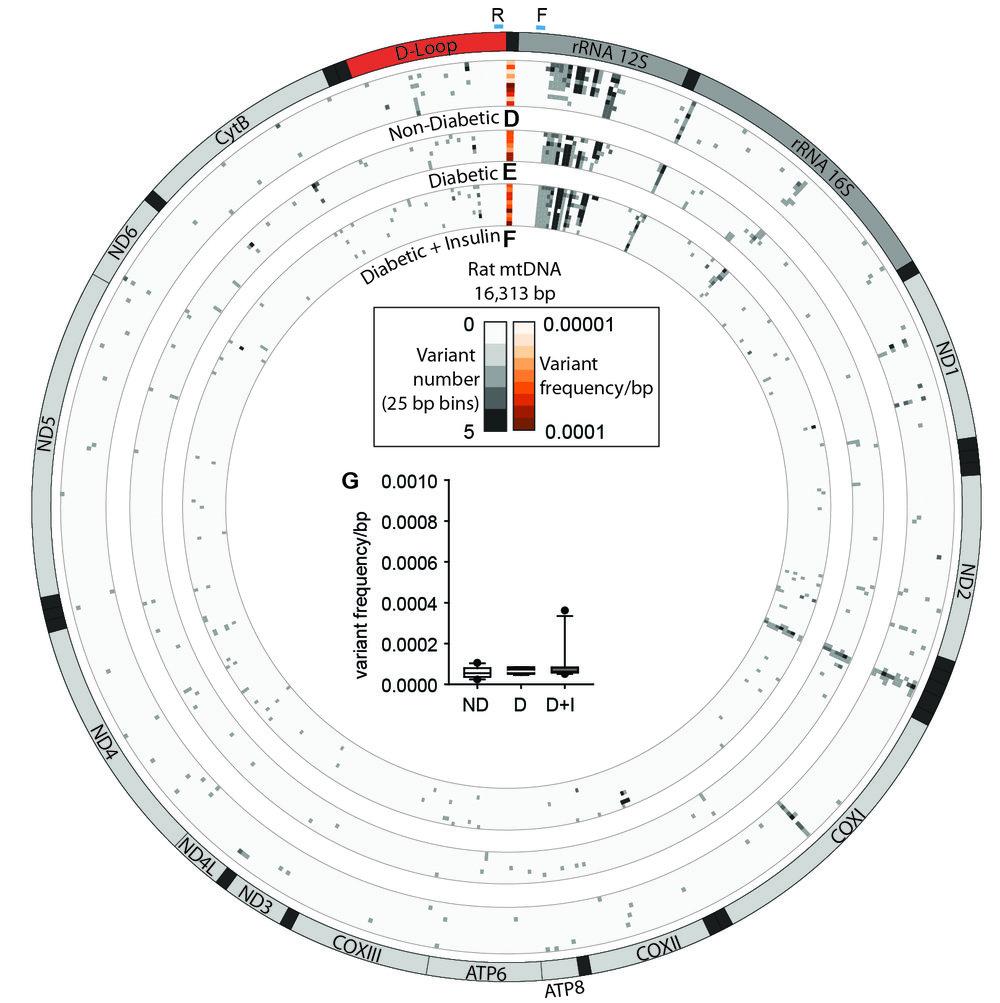mtDNA.jpg