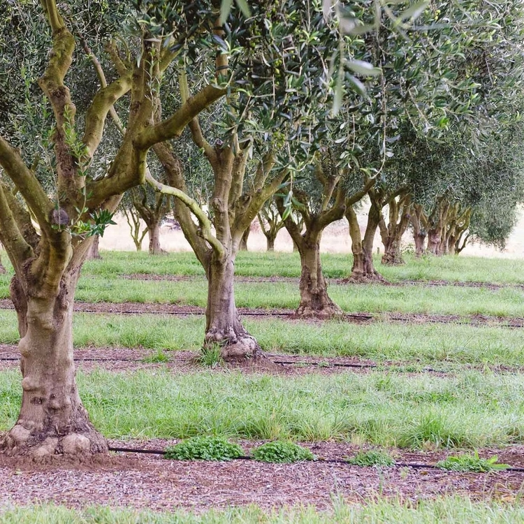 olieve-and-olie-australian-olive-grove-making-natural-skincare.jpg