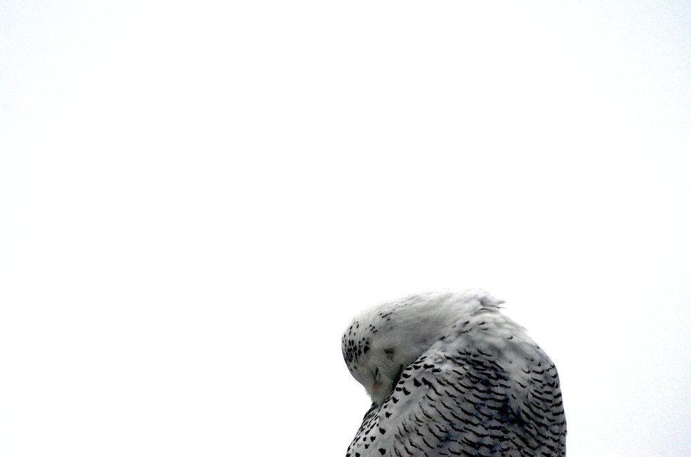 snowyowl121711_143.JPG