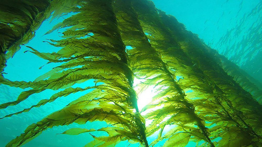 Foto: Seaweed Energy Solutions AS