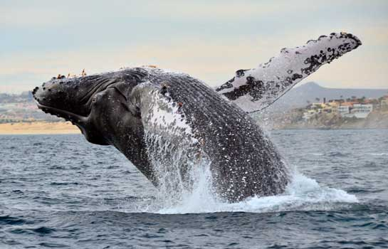 Breaching-Whale-Watching-Cabo.jpg
