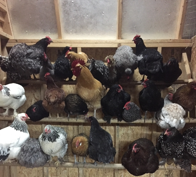 Farmhouse Enlightenment Chickens.jpeg