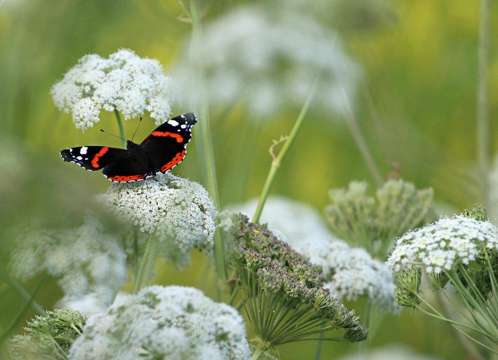 butterfly white flowers.jpg