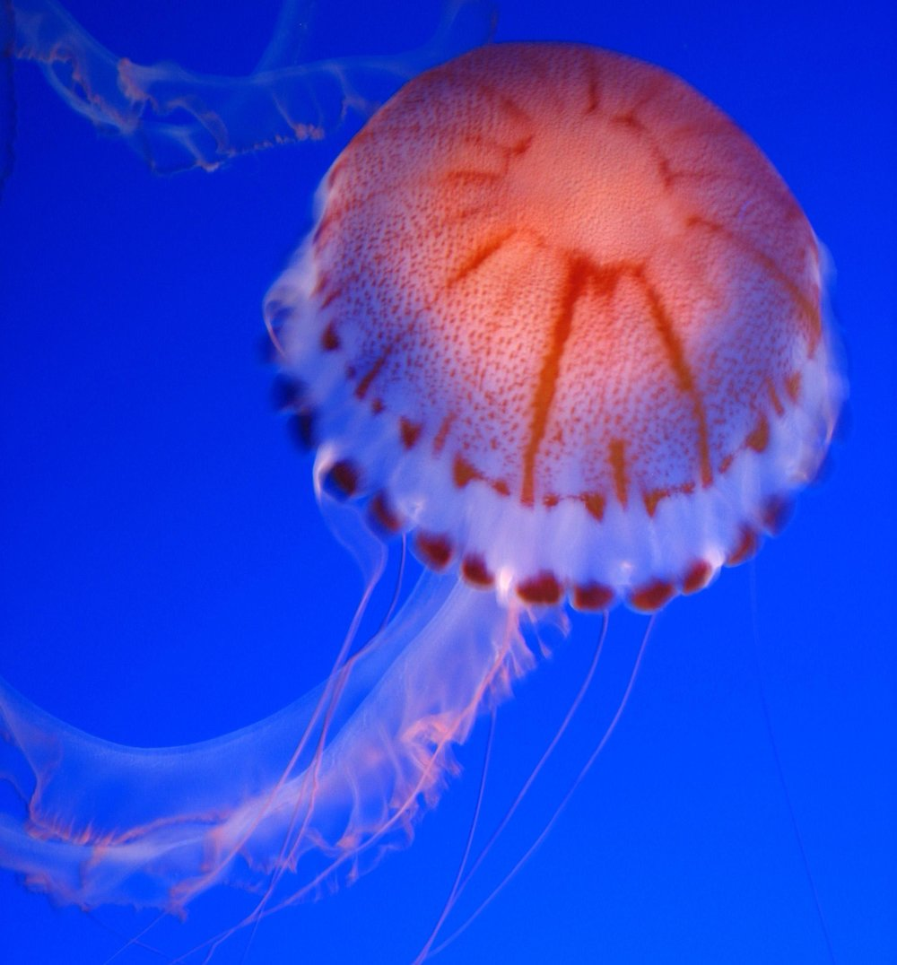 jellyfish orange.jpg