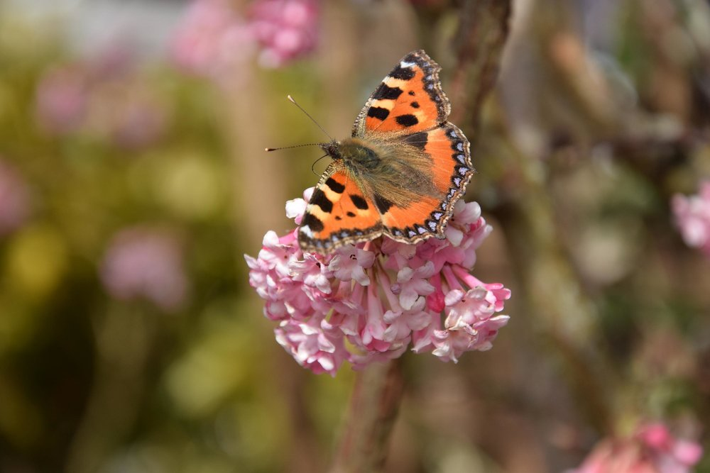 orange butterfly pink flowers.jpg