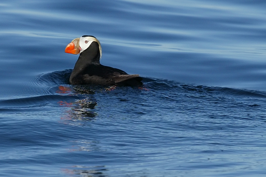 tufted puffin.jpg