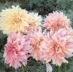Dahlia - Full Bloom with beautiful color transition from stem to tip. - Best in Spring and Summer