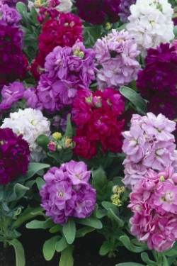 Stock - Taller stem with several blooms. Available in several shades of rich color. - Available year round, best in March - August.