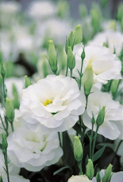 Lisianthus  - Soft bloom with delicate petals. Available year round, best May - October.