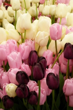 Tulip  - Rich, Velvety texture and color. Available February - May.