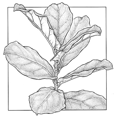 Ficus lyrata.  Fiddleleaf fig. NY Times illustration. 6 x 7""