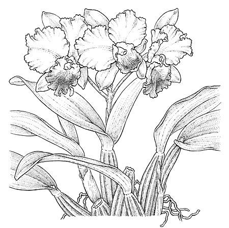 """Laeliacattleya  hybrid. NY Times illustration. 6 x 6"""""""