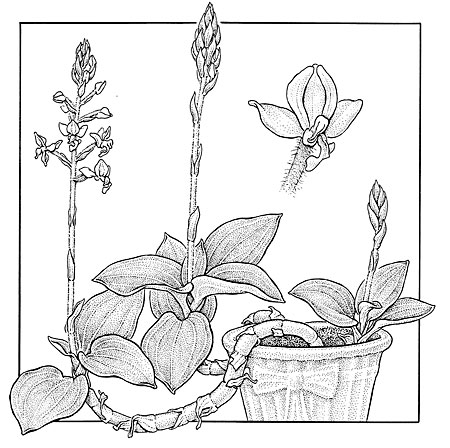 Ludisia discolor . Jewel Orchid. NY Times illustration. 6 x 6""