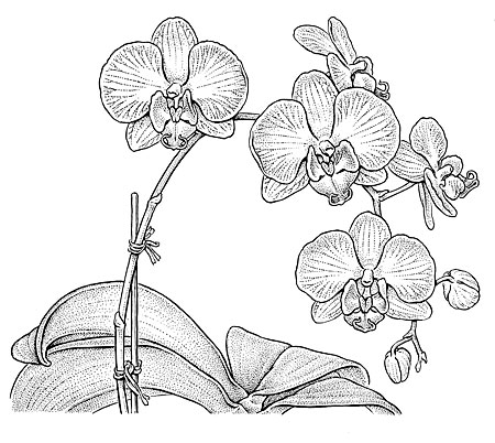 "Phaleonopsis  cv. Moth Orchid. NY Times illustration. 6 x 6""."