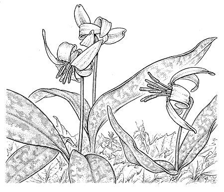 Trout lily.  Erythronium americanum