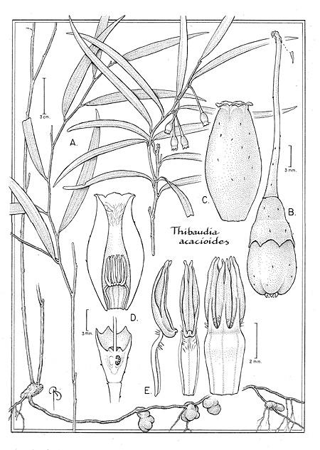 Thibaudia acaciodes