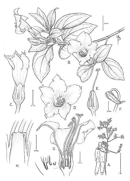 Symbolanthus jasonii