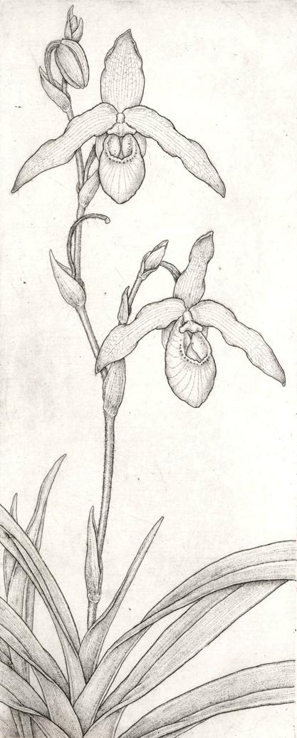 Phragmipedium besseae x pearcei