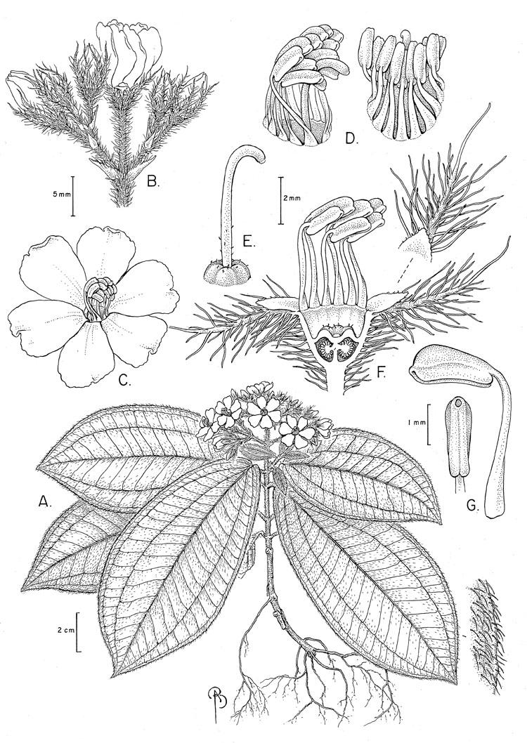 Physeterostemon anonae