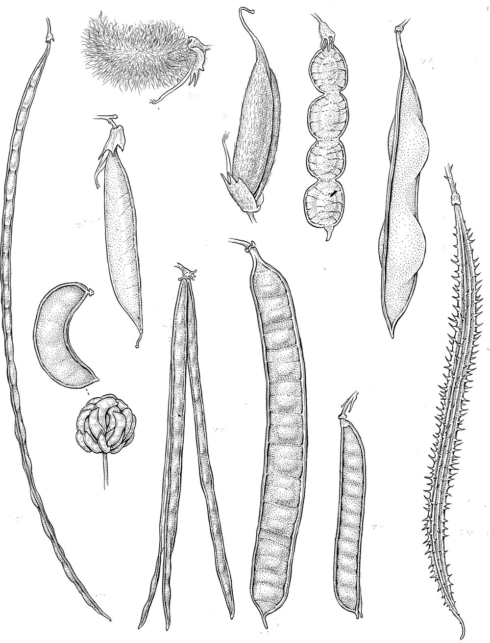 Fabaceae fruits