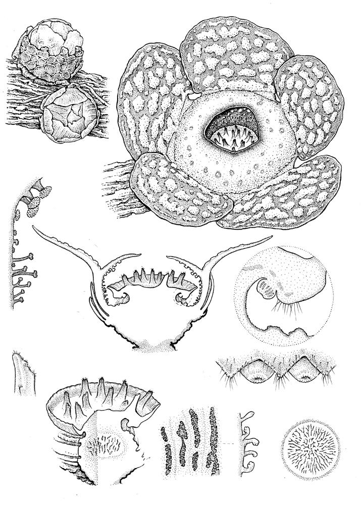 Rafflesia cantleyi