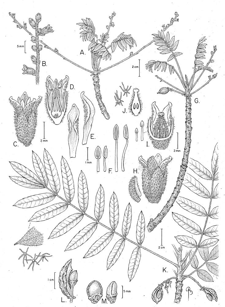 Commiphora morandavensis